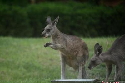 澳大利亚将消灭百万只袋鼠并鼓励吃肉:很嫩很香