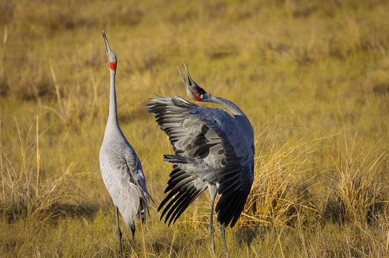 雄性动物花哨的表演在吸引雌性注意力的同时,也可能会引来附近的掠食者。