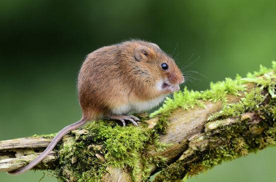 """雄性小鼠会通过独特的高音""""歌唱""""来吸引雌性,甚至能飙到超声波的范围"""