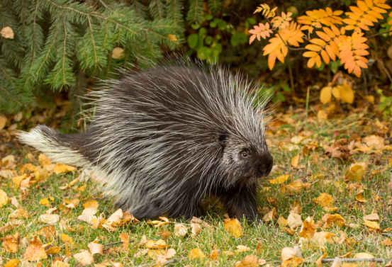 雌性北美豪猪的发情期每年只有一次,一次只有8到12个小时。