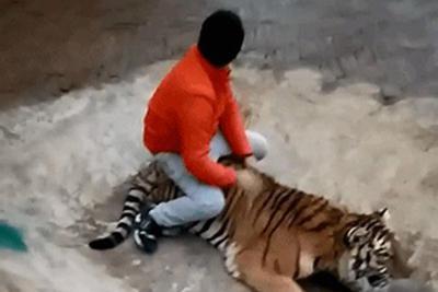 网称饲养员直播虐待老虎 动物园:系训导嬉戏