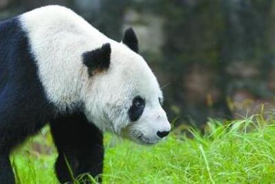 """成都大熊猫""""科比""""去世:出生于1992年育有多只大熊猫"""