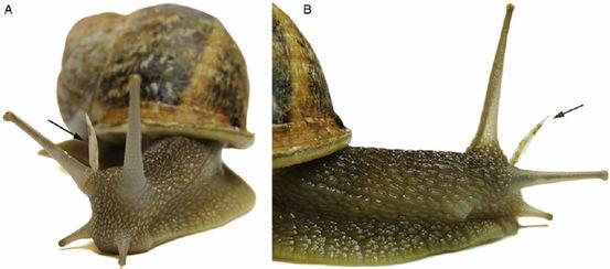散布大蜗牛