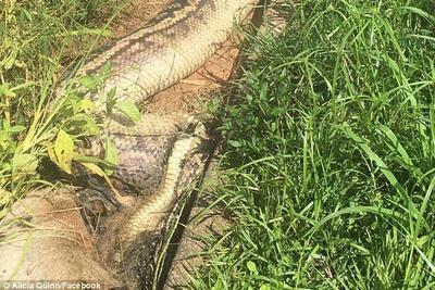 澳大利亚6米紫晶蟒吞食袋鼠:块头太大被噎死