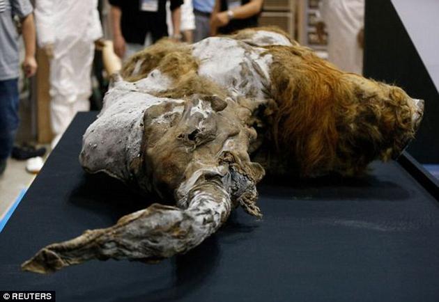 猛犸象在数千年以前便已灭绝,但哈佛大学的科学家们近日宣称,两年之内就能使它们起死回生。图为2013年在西伯利亚冰层中发现的一头雌性猛犸象,它生活在距今39000年前。