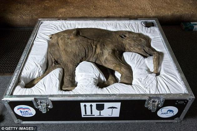 图为世界上保存最完好的猛犸象Lyuba,2014年在美国自然历史博物馆展出。