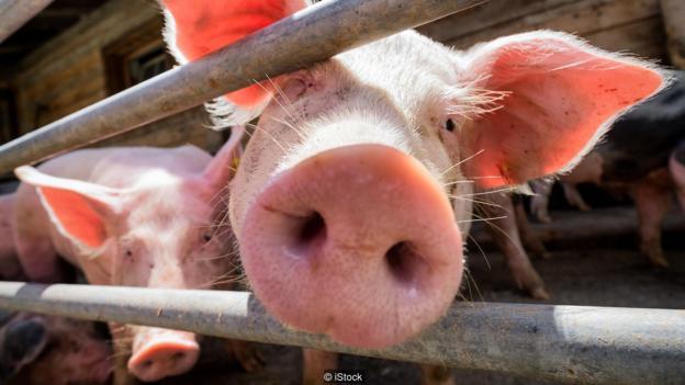 如果利用猪来培植人类器官,我们是否会少吃一点猪肉?
