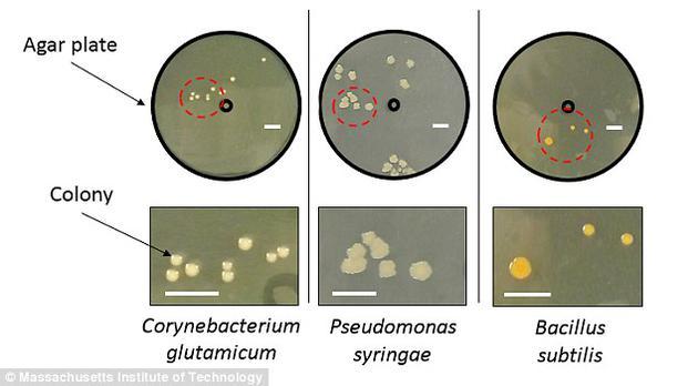 科学家将三种土壤微生物(谷氨酸棒状杆菌、丁香假单胞杆菌和枯草芽孢杆菌)在培养皿中培育了两天。培养皿中央的黑圈代表雨水滴落在土壤上的位置,周围的黄点则为细菌繁殖的位置。