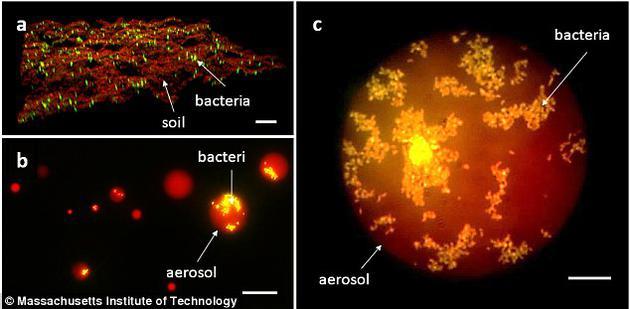 图a为显微镜下、谷氨酸棒状杆菌在黏土表面的生长状况。图b和图c为雨水滴落在黏土表面后的荧光图像。红圈和黄点分别代表雨水和谷氨酸棒状杆菌。