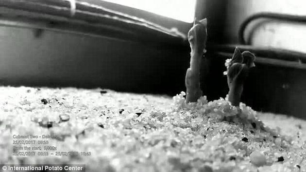 在实验中拍摄的延时视频片段显示,在模拟火星环境的特制CubeSat装置内,马铃薯成功地从土壤中长出并发芽。