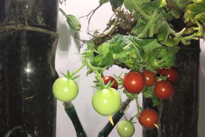 尽管味道稍微有点苦,但这些西红柿完全是可食用的