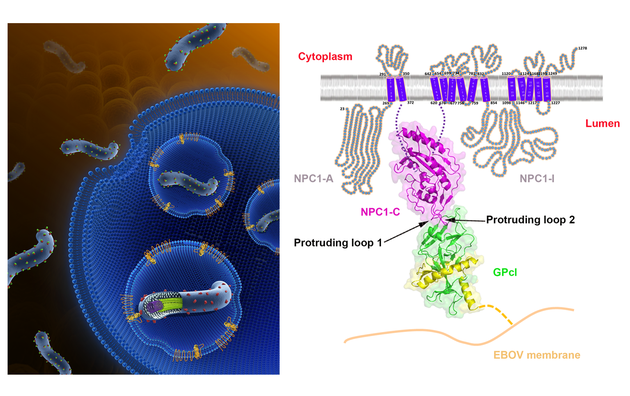 埃博拉病毒入侵宿主细胞模式图(左)博拉病毒表面激活态糖蛋白GPcl与其宿主的内吞体内受体NPC1的复合物三维结构图(右)。