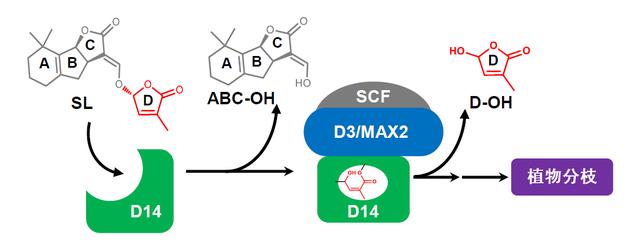 植物分枝激素独脚金内酯的感知机制示意图