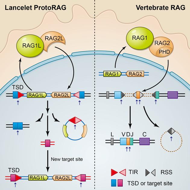文昌鱼ProtoRAG转座子和脊椎动物RAG蛋白的功能比较