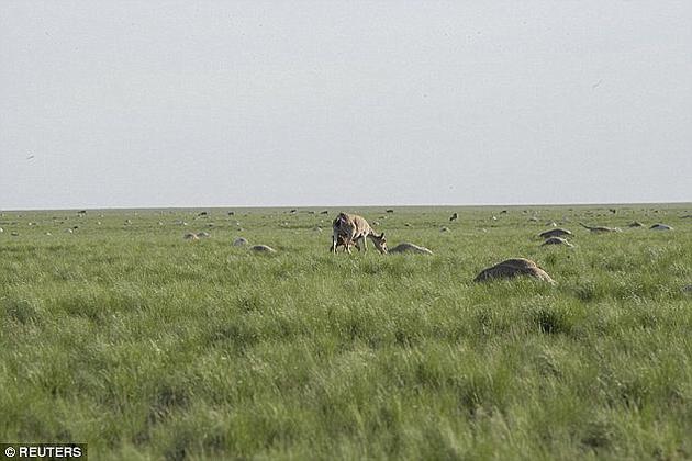 2015年,哈萨克斯坦的高鼻羚羊种群出现了大面积死亡,几天内的死亡数量就占了全世界总量的三分之一以上。