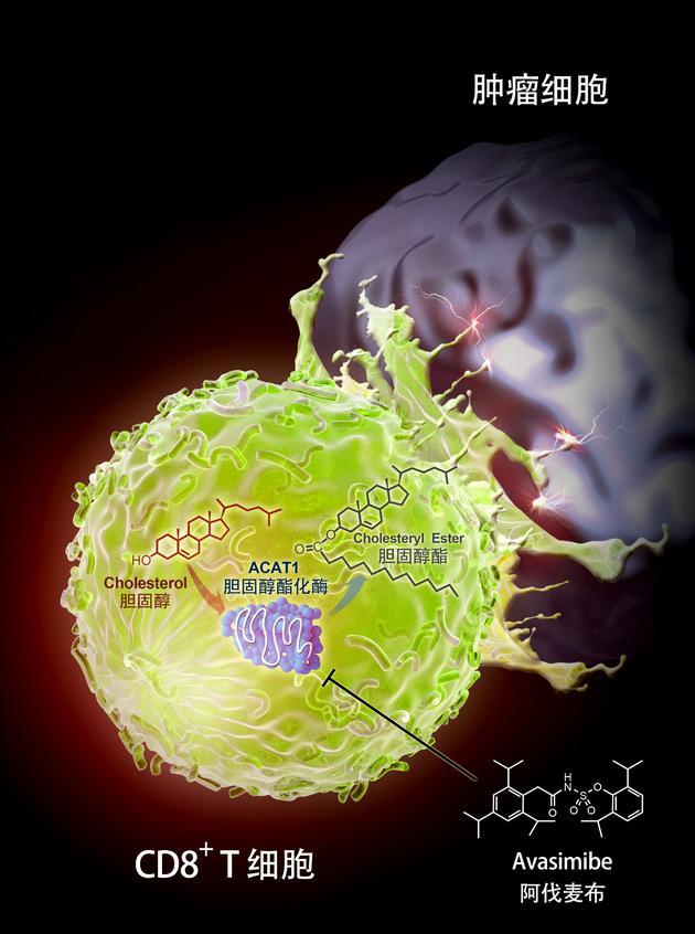 胆固醇酯化酶ACAT1调控T细胞肿瘤杀伤过程示意图