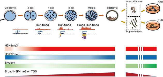 小鼠植入前胚胎的组蛋白H3K4me3和H3K27me3修饰动态变化图谱。