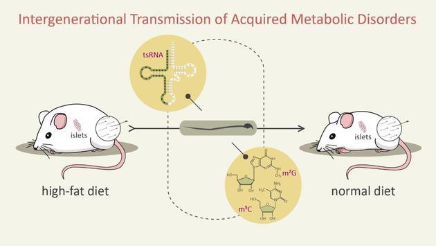 精子tsRNAs及其携带的RNA修饰将父代高脂饮食获得的代谢紊乱性状传递给子代