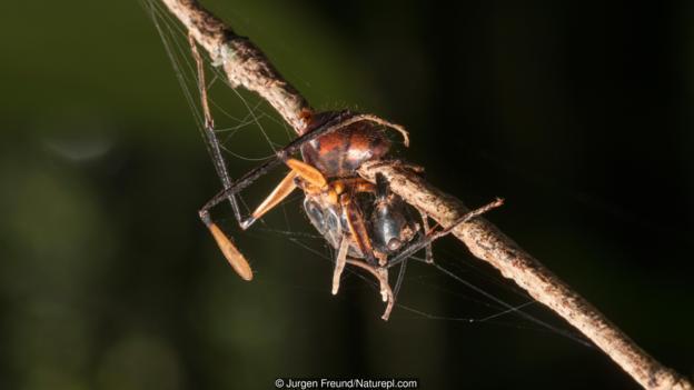 被蛇形虫草属真菌感染,已经死亡的蚂蚁(学名:Formicidae sp.)