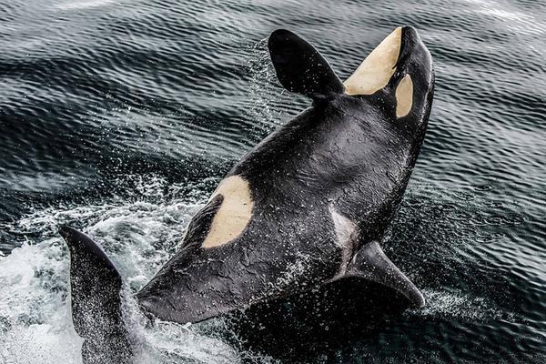 2017索尼世界摄影大赛入围作品:展现力量与雄壮的虎鲸