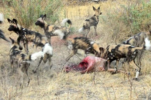 鬣狗群为抢猎物大战野狗群:这是一个狗抢狗的故事