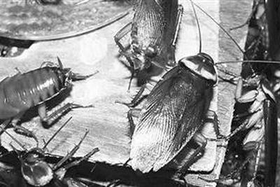 蟑螂因何能迅速繁殖 无需雄性可进行单性繁殖