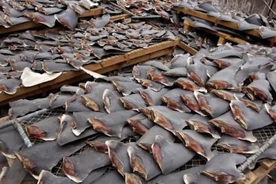 视频:数十万张鲨鱼鳍触目惊心 3D探秘鱼翅背后产业链