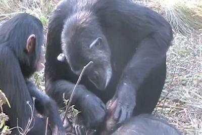 心碎一刻!赞比亚黑猩猩为死去养子清洁牙齿