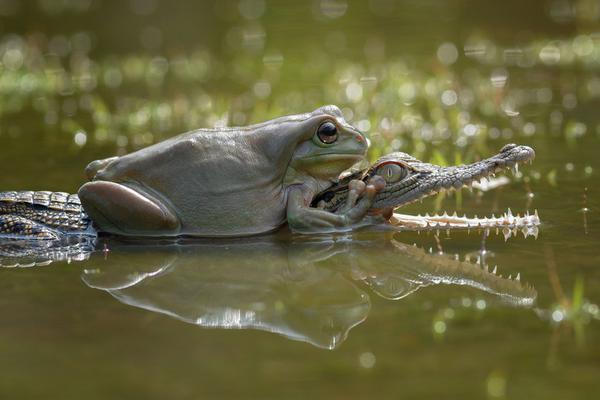 大胖蛙骑鳄鱼宝宝搭便车
