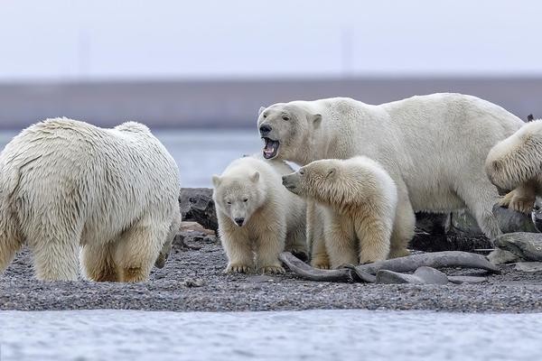 """北极熊妈妈不堪崽子闹腾 使出""""河东狮吼""""震慑淘气鬼"""