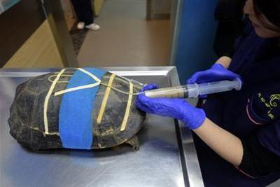 乌龟病了怎么治?拍片打麻醉开刀口输液阵仗大