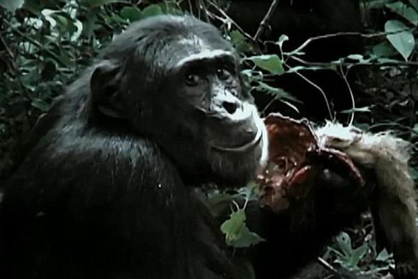 揭示乌干达的黑猩猩部落