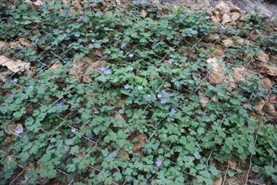 """""""植物熊猫""""时隔六年回归自然 成活率达85%"""