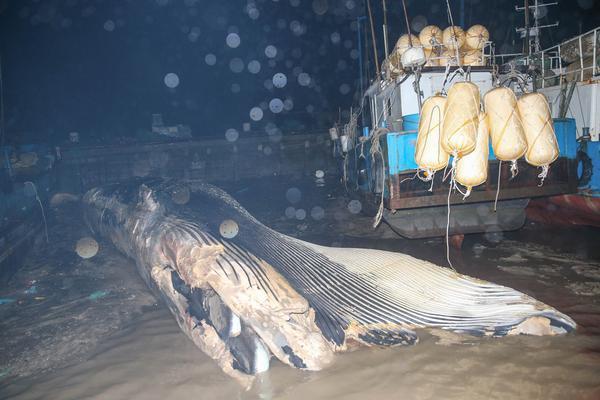 浦东附近海域现一20吨死亡鲸鱼 鱼头缺失鱼鳍被割