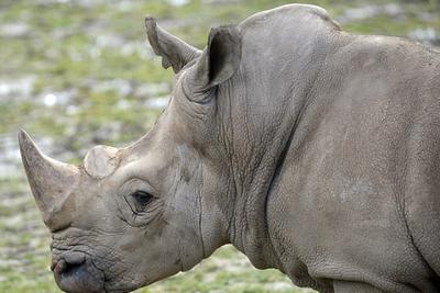 捷克一动物园为防止犀牛被猎杀 忍痛将其牛角割去