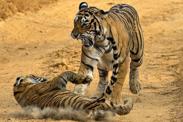 印度淘气虎崽惹妈妈生气
