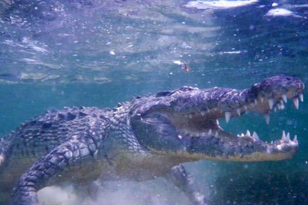 潜水大牛墨西哥海底与鳄鱼同游