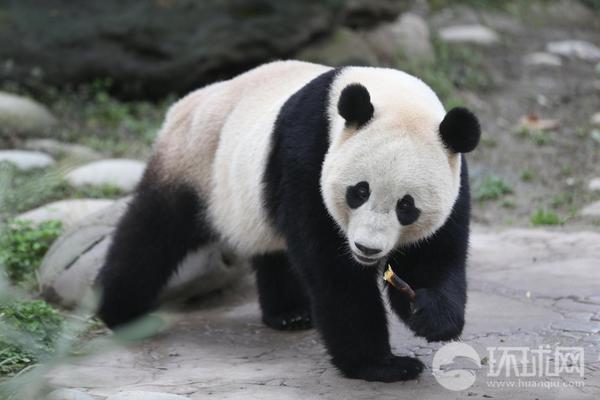 """旅美归国大熊猫""""宝宝""""首次与公众见面 卖萌开心玩耍"""