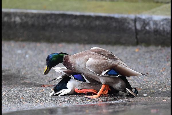 两只鸭子在首相门口撒野