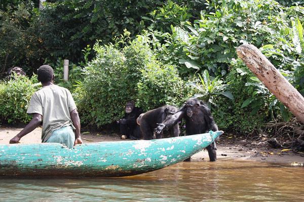 医学实验黑猩猩被遗弃猴子岛:伸手向志愿者要食物
