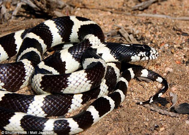 正在晒太阳的加州王蛇。王蛇通常出没于北美洲的森林和草地环境中,主要捕食啮齿类、鸟类和动物的蛋,但它们的食物中有大约四分之一是其他蛇类。