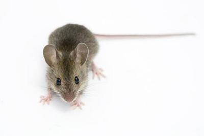 """研究揭示1.5万年前老鼠就与人""""共舞"""""""