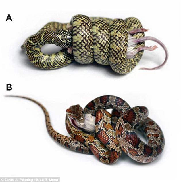 """王蛇属蛇类加州王蛇(图A,学名:Lampropeltis getula)的典型绞杀方式,及其与玉米蛇(图B,学名:Pantherophis guttatus,又称红鼠蛇)的对比。二者正在绞杀的是相似体型的小鼠。研究者发现,王蛇缠绕猎物的方式类似""""扭扭薯条"""",但玉米蛇的缠绕方式却不尽相同。"""