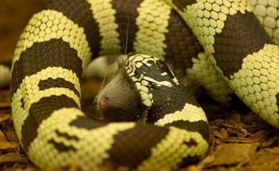 王蛇的致命绞杀:帮助猎食更大的蛇类