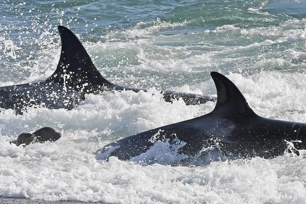 虎鲸上岸捕食海狮