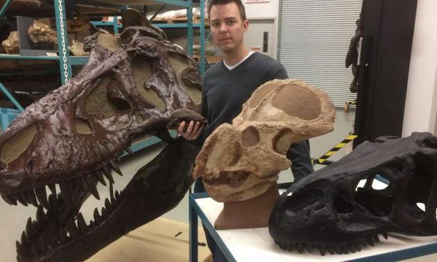 乔丹?马伦博士站在加拿大自然博物馆的复制恐龙化石藏品之间。这些恐龙头骨属于4个此前进行过两性异形研究的物种:暴龙(Tyrannosaurus rex,最大的头骨)、脆弱异特龙(Allosaurus fragilis ,右侧黑色头骨)、安氏原角龙(Protoceratops andrewsi)和直立剑角龙(Stegoceras validum,手中头骨)。