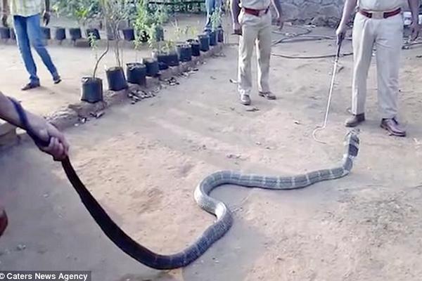 眼镜王蛇闯入印度村庄找水喝