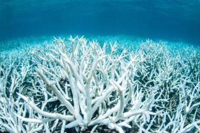 研究:大堡礁珊瑚白化危机史无前例 三分之二遭破坏