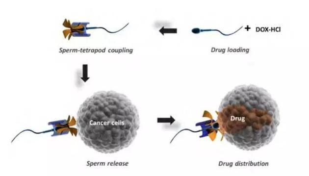 基于精子微型电动机的癌症治疗药物运载系统示意图