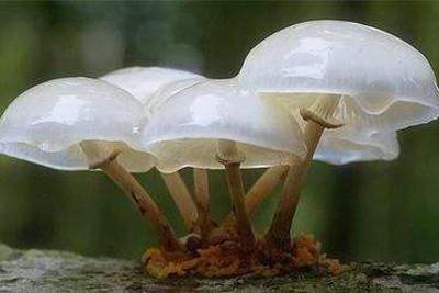 1.25亿年前的蘑菇长啥样?好吃吗?